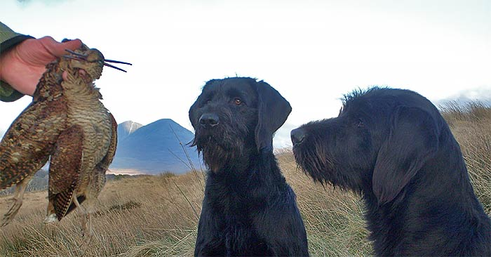 islay-outdoors-dogs-woodcock